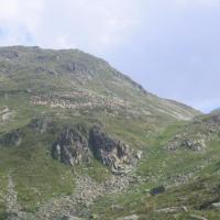 Greggi in Val Viola